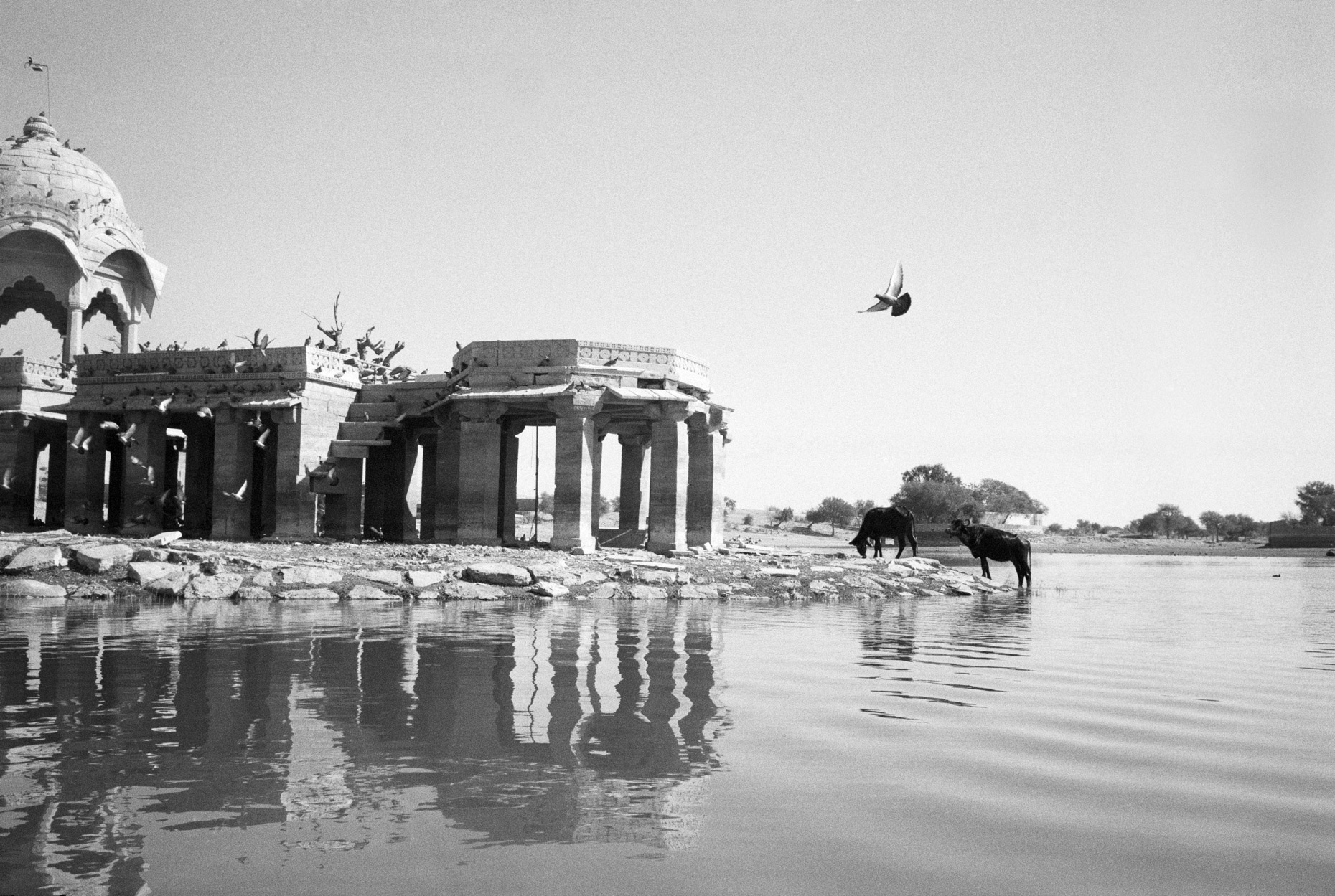 Ruined Temple with Water Buffalo, Gadi Sagar, Jaisalmer