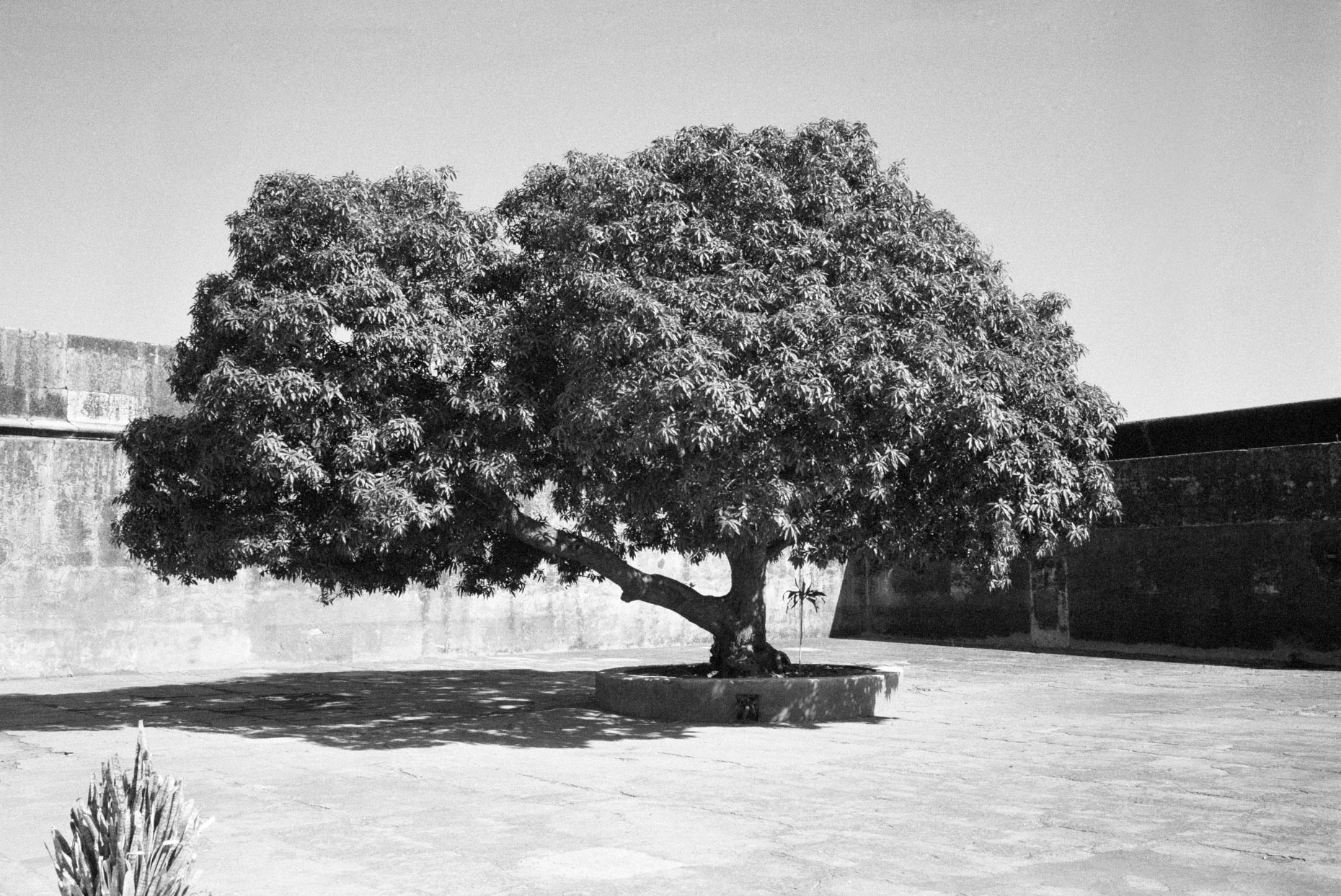 Tree, Amber Fort, Rajasthan