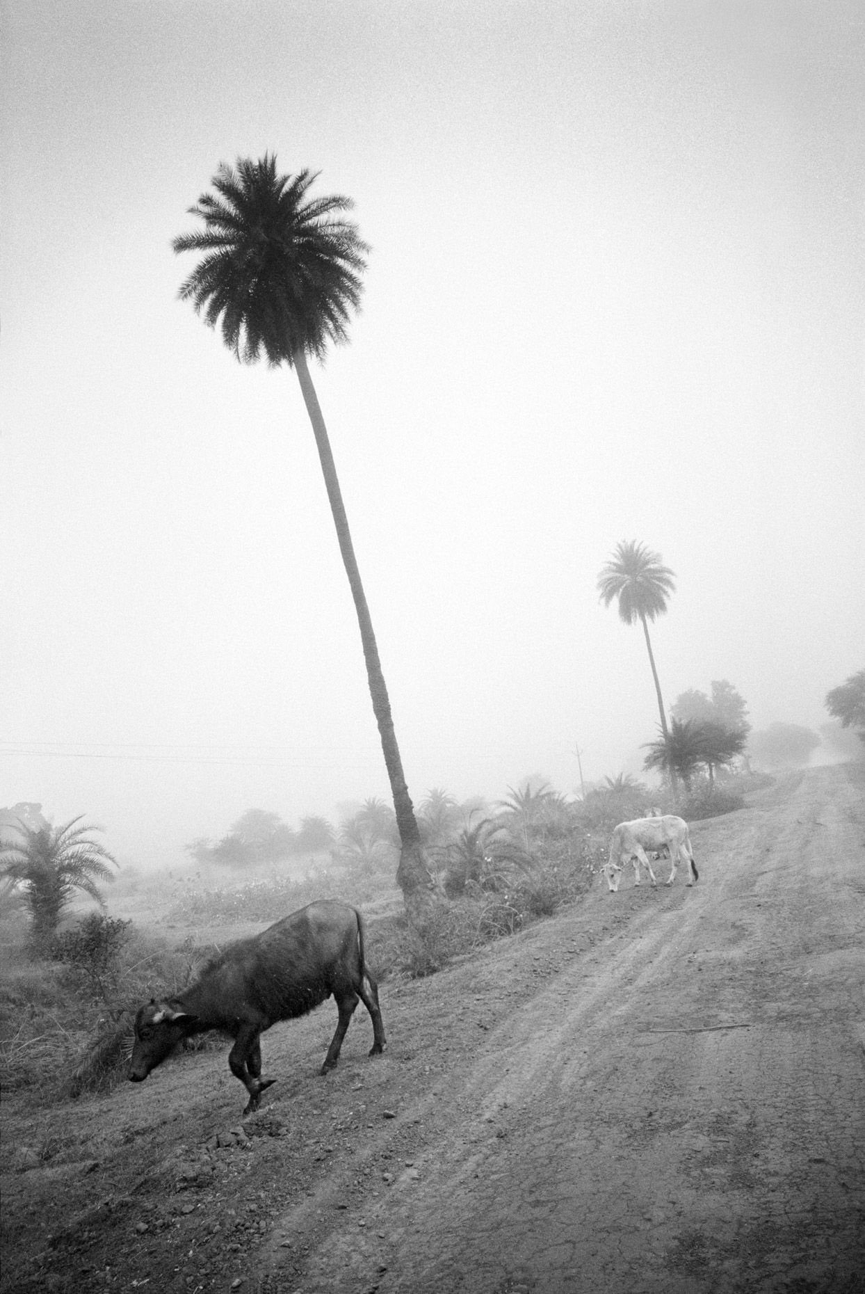 Water Buffalo and Palm Tree, on the road to Khajaraho